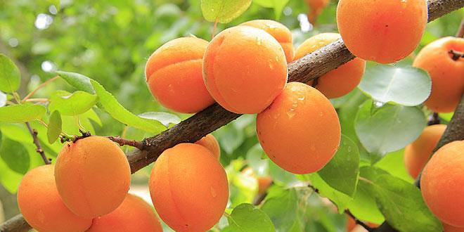 frutales acopaex
